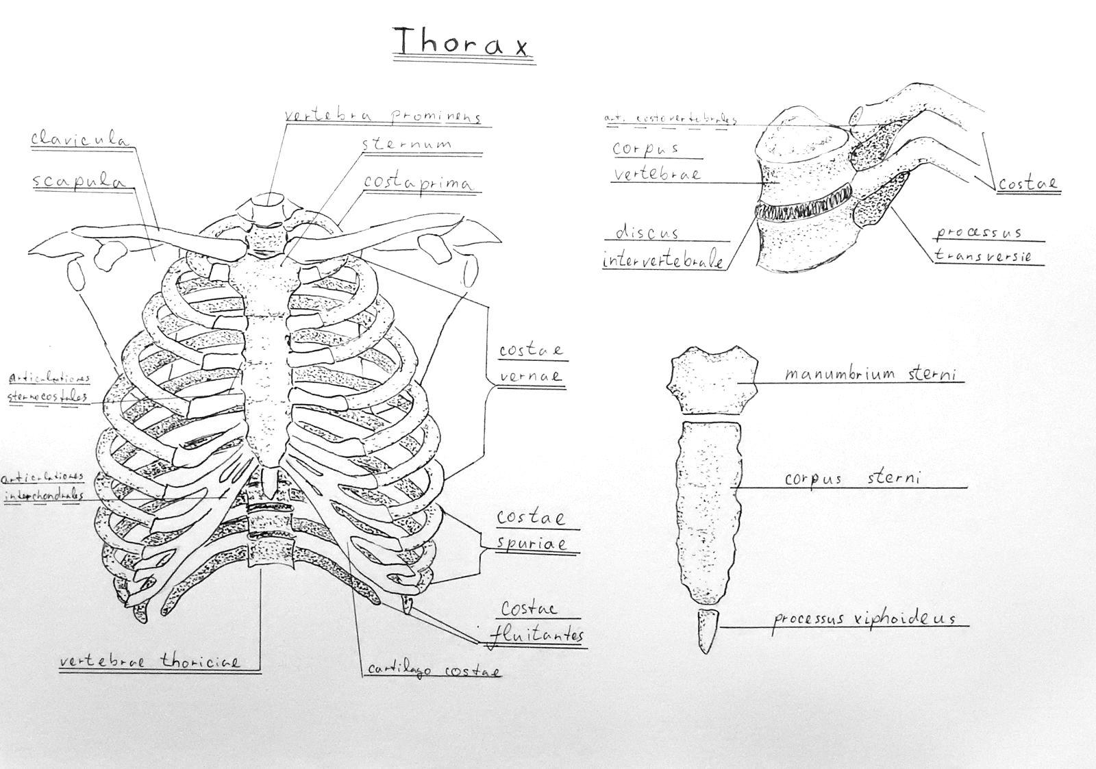 Anatomy Atlas Part 7 - Rib Cage