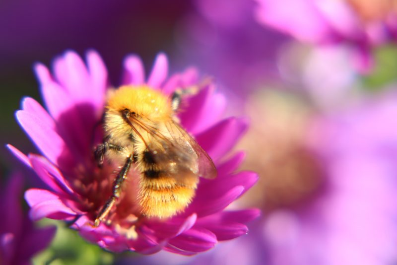 Bumblebee in purple flower