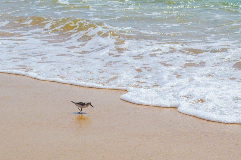 Sanderlings on beach