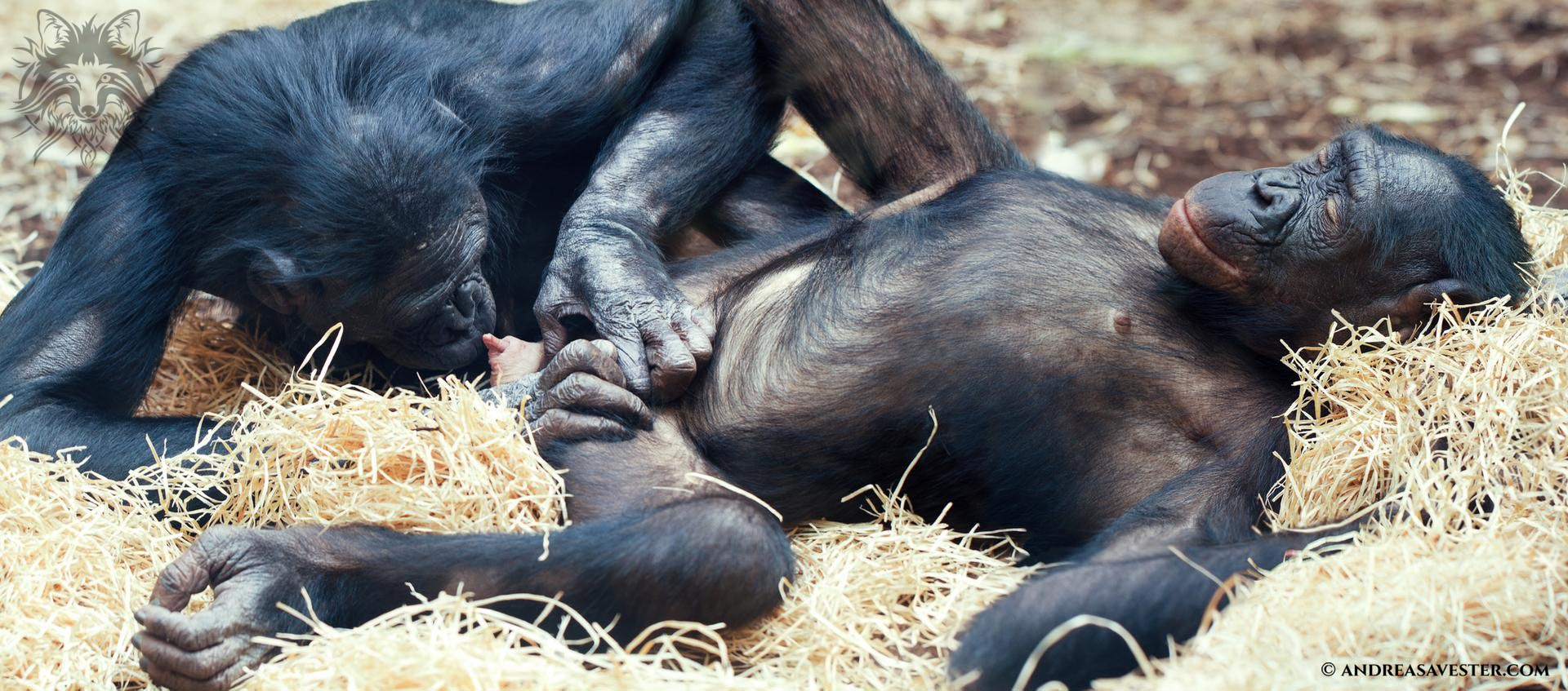 Bonobo Ape Sexual Behavior