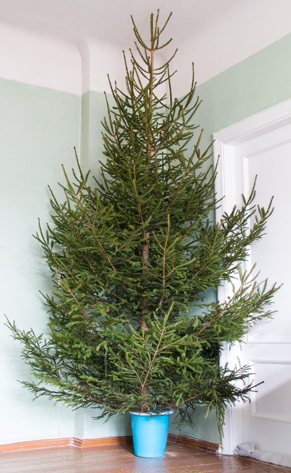 Spruce tree, January 2014