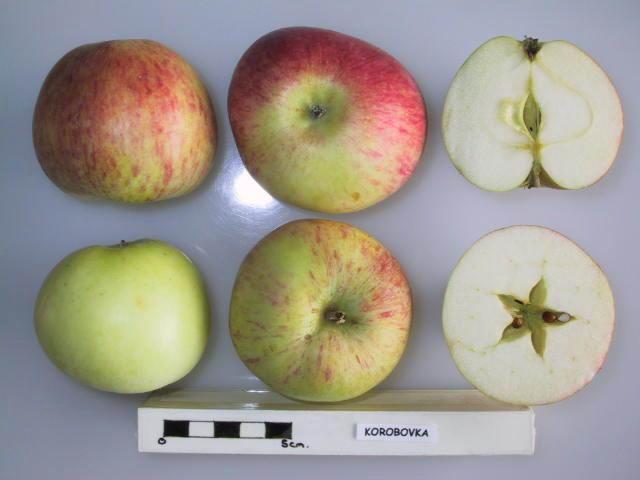 """Apple cultivar """"Korobovka."""""""