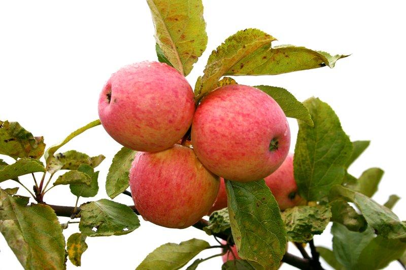 """Apple cultivar """"Tiina."""""""