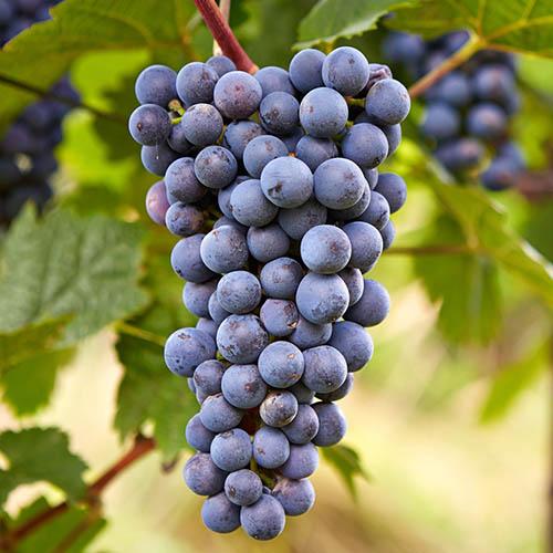 "Grape cultivar ""Zilga."""