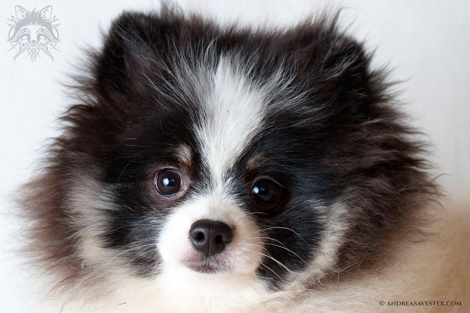 German Spitz dog