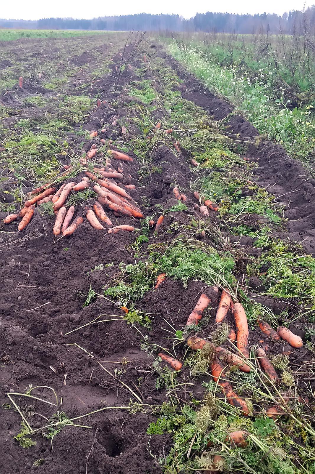 carrots, food waste