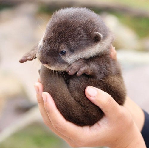An otter held in human hands