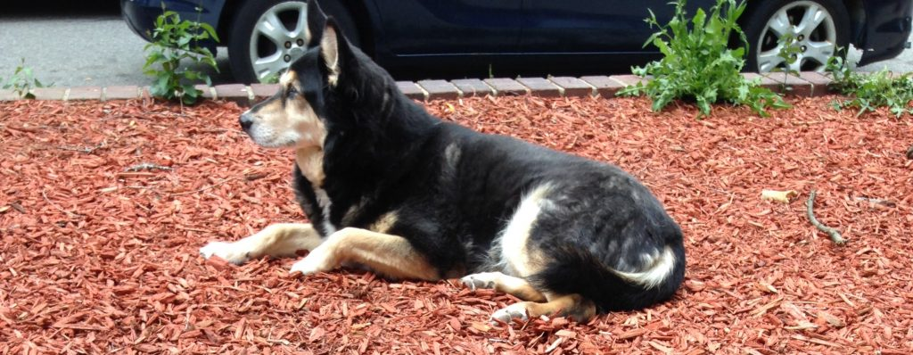 The image shows a mid-sized dog. She's mostly black with light tan on her legs and cheeks, and on her feet and muzzle, except for a black stripe down the top of her nose. She's lying in reddish cedar mulch. Behind her is a very low brick wall, and behind that a car parked in the street. Her ears are pointed, and she's looking intently down the street where a less mellow dog is barking. She's part German Shepard, and part Husky, and she has thick, soft fur. The top of her head and her ears in particular feel like velvet.