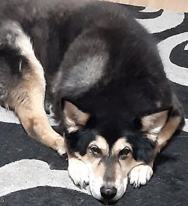 Image shows Raksha lying curled slightly on the rug, with her right hind leg sticking forward to her front paws. Her snoot is on the ground between her front paws, and she is looking up at the camera. Her fur is thick and  black with the white underfur showing through in some places. Her paws are white, and the insides of her black, triangular ears are also white. Her eyebrows, and the sides of her face are white/white-tan, with a black stripe from her black nose to her eyes, and black running under her dark eyes. She's part husky, part German Shepard.