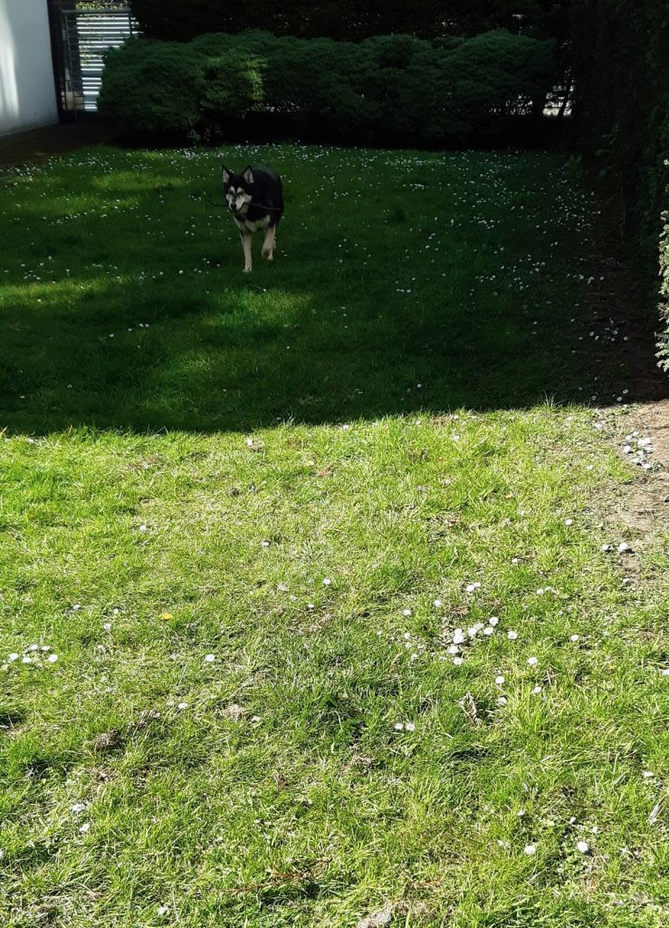 The picture shows Raksha approaching the camera, carrying a stick. The portion of the lawn she's on is shaded, but she's a few steps away from the sunlit portion. The grass has little white daisies speckling it, and there's a hedge around the edges of the lawn. She's a medium-sized dog, about 50lbs, mostly black, with white on her legs, cheeks, and the sides of her muzzle. Her eyes have a little black under and around them, merging with a black stripe down the center of her long nose, and she has white eyebrows that give her a very expressive face. Her ears are large, triangular, and erect, black on the backs, with white fur inside them