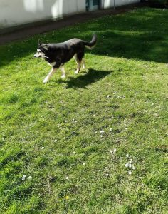 The picture shows Raksha carrying a stick. She's in the sunny part of the lawn now, and the light is making her black fur look thick and soft. She's mid-trot, and looking cheerful. The grass has little white daisies speckling it, and there's a hedge around the edges of the lawn. She's a medium-sized dog, about 50lbs, mostly black, with white on her legs, cheeks, and the sides of her muzzle. Her eyes have a little black under and around them, merging with a black stripe down the center of her long nose, and she has white eyebrows that give her a very expressive face. Her ears are large, triangular, and erect, black on the backs, with white fur inside them