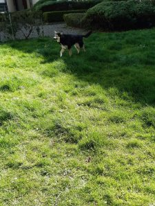 The picture shows Raksha approaching the camera, from the other side of the lawn, still carrying a stick. The portion of the lawn she's on is shaded, but her nose is just poking into the sunlit portion. The grass taller in this area, and growing unevenly. Some patches are at about heel/ankle height for her, so maybe six inches long. This part also has little white daisies speckling it, and there's a hedge around the edges of the lawn. She's a medium-sized dog, about 50lbs, mostly black, with white on her legs, cheeks, and the sides of her muzzle. Her eyes have a little black under and around them, merging with a black stripe down the center of her long nose, and she has white eyebrows that give her a very expressive face. Her ears are large, triangular, and erect, black on the backs, with white fur inside them