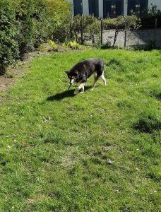 The picture shows Raksha approaching the camera, from the other side of the lawn, still carrying a stick, and looking for a good spot to lie down. The grass has little white daisies speckling it, and there's along the left side of the picture, with a gravel circle beyond the lawn, and an apartment building behind that. . She's a medium-sized dog, about 50lbs, mostly black, with white on her legs, cheeks, and the sides of her muzzle. Her eyes have a little black under and around them, merging with a black stripe down the center of her long nose, and she has white eyebrows that give her a very expressive face. Her ears are large, triangular, and erect, black on the backs, with white fur inside them