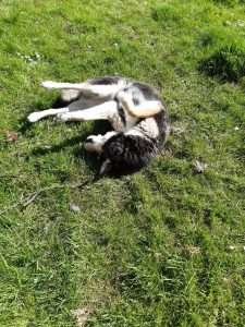 The picture shows Raksha rolling on her back on the grass, her feet up in the air. She's a medium-sized dog, about 50lbs, mostly black, with white on her legs, cheeks, and the sides of her muzzle. Her eyes have a little black under and around them, merging with a black stripe down the center of her long nose, and she has white eyebrows that give her a very expressive face. Her ears are large, triangular, and erect, black on the backs, with white fur inside them