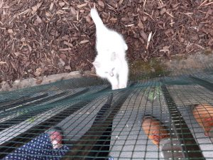 The image shows Banjo standing on the mulch of his yard, kept inside by chicken wire that has been added to the iron fencing. He's a small, white cat with fluffy fur and blue eyes. His tail is sticking straight up and out behind him, swishing a little as he stares intently at the tip of a black umbrella, moving up the other side of the chicken wire. His paws are up on the chicken wire as he tries to bat at the umbrella. The picture also shows brown leather shoes (mine), and one red sandal and blue skirt with white polka dots (Tegan's) on the pavement outside the yard
