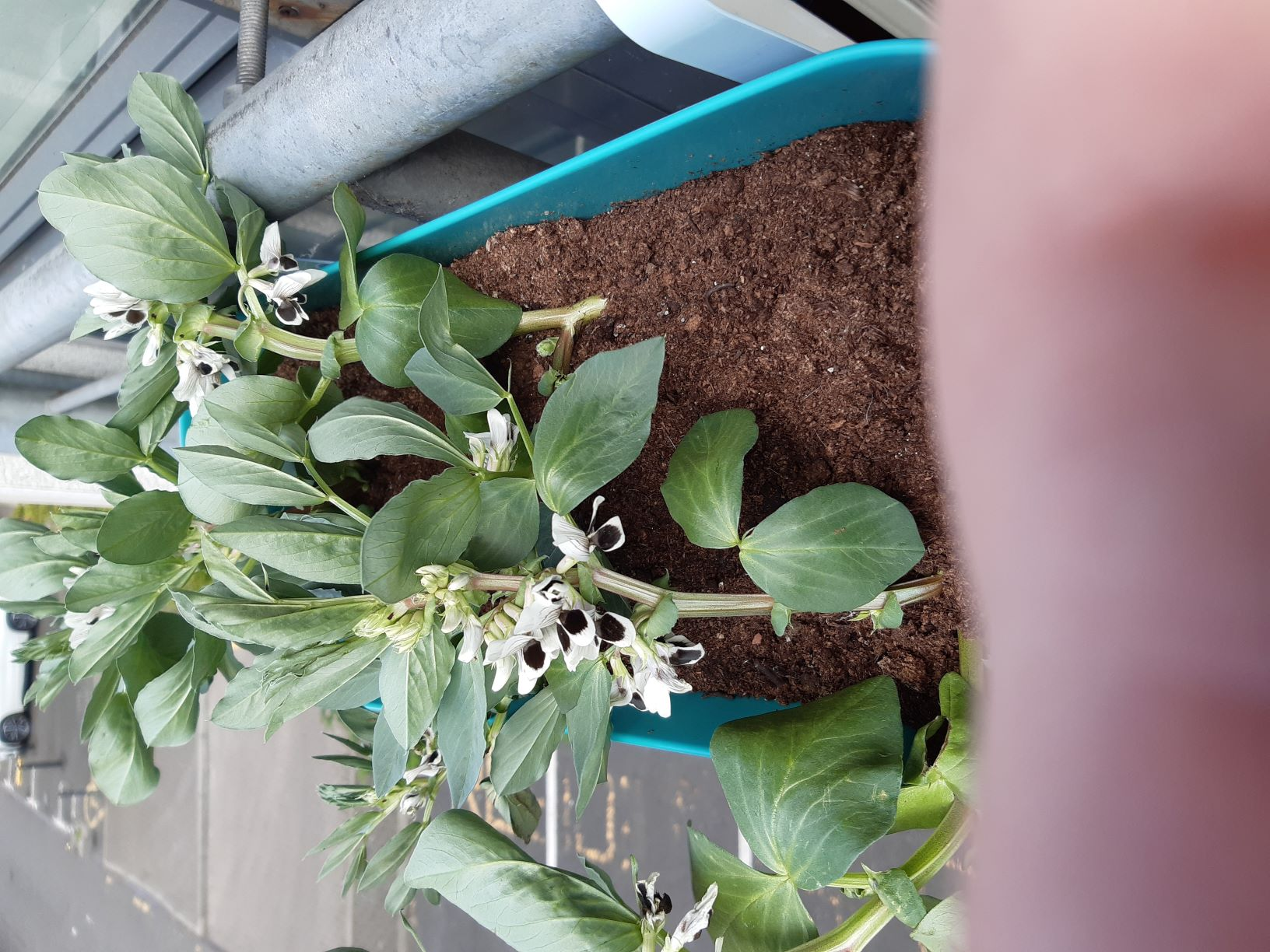 The image shows a turquoise window box attached to a sturdy railing over a parking area. The brown soil has several dwarf broad bean plants with white and black flowers.