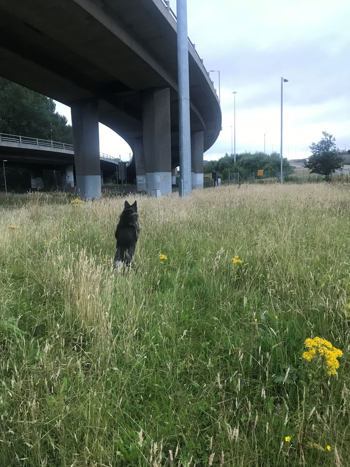 The same scene - tan and green field with yellow flowers and looming overpass. The dog is now mid-leap, facing away from the camera as she bounces after a thrown pebble. Her fur is black, and her ears are two black triangles as she bounds through the tall grass.