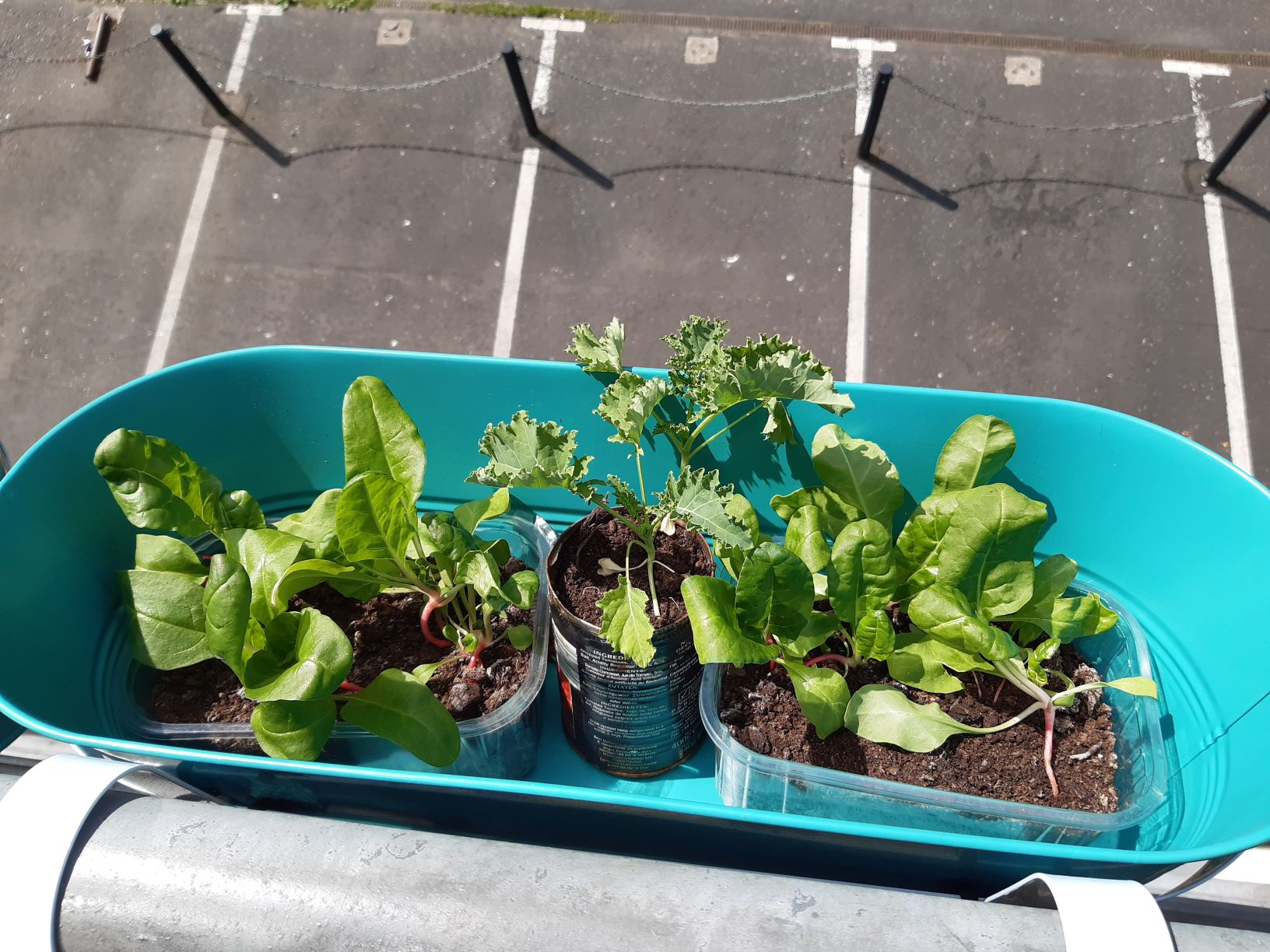The image shows three cans and a plastic container inside a turquoise window box. The containers contain soil and some chard and kale plants. The parking area below is visible in the background