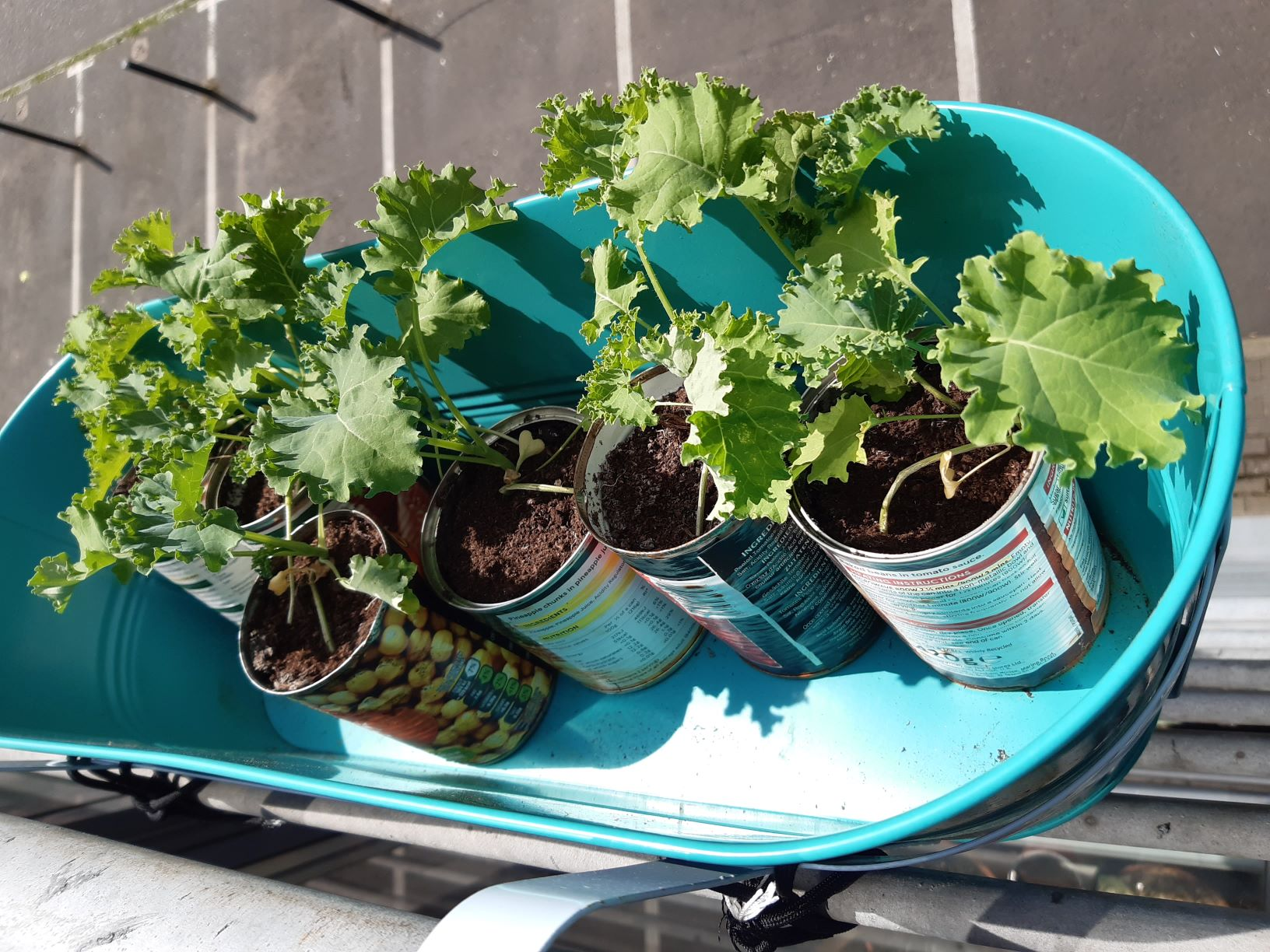 Image shows give cans with kale growing in them. The cans are in another turquoise window box, attached to the railing with hooks and parachute cord.