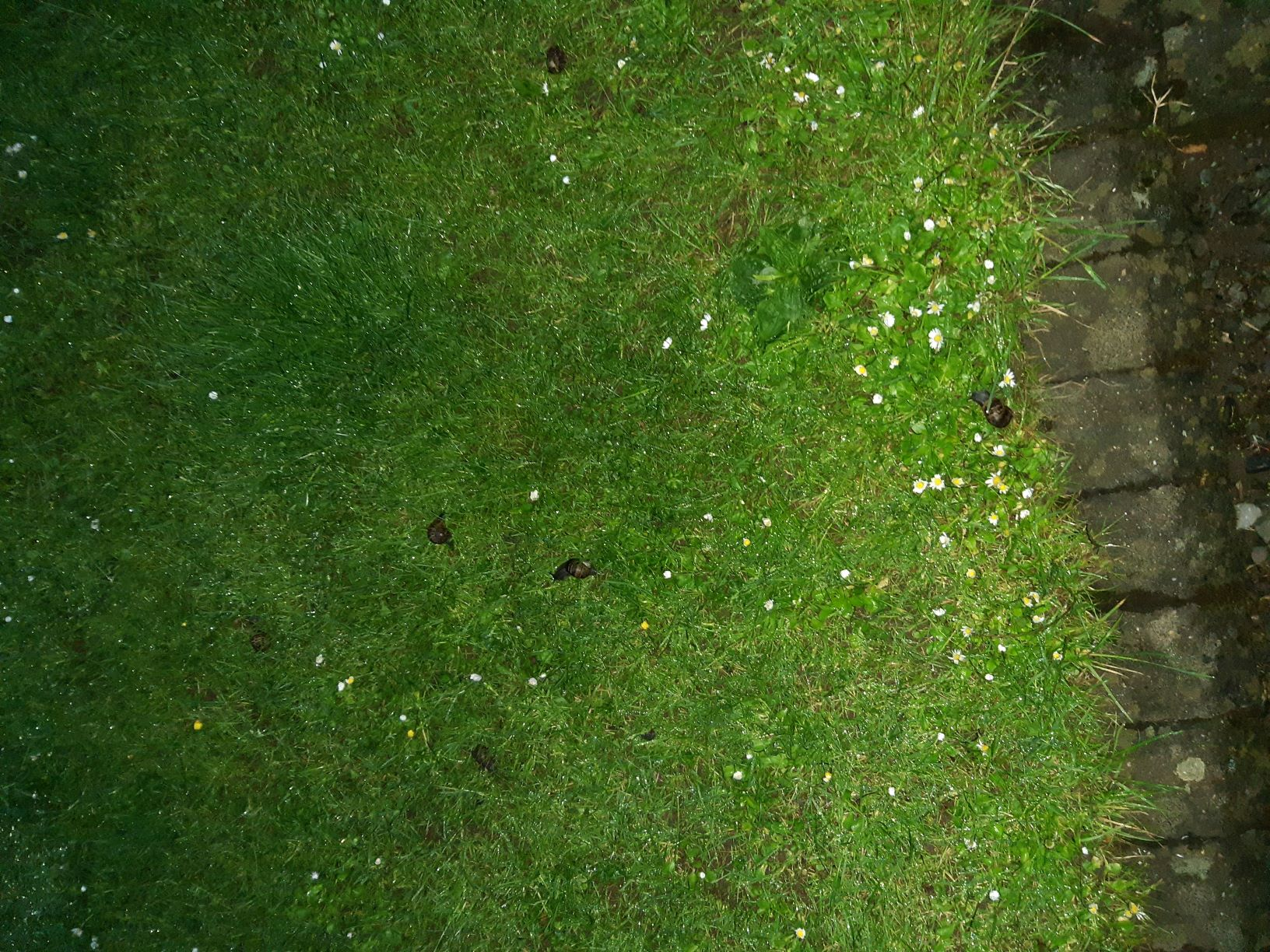 This image shows the lawn at the edge of the courtyard's gravel section. The grass is spotted with closed daisies and buttercups. There are 6 snails in an area of about one or two square meters