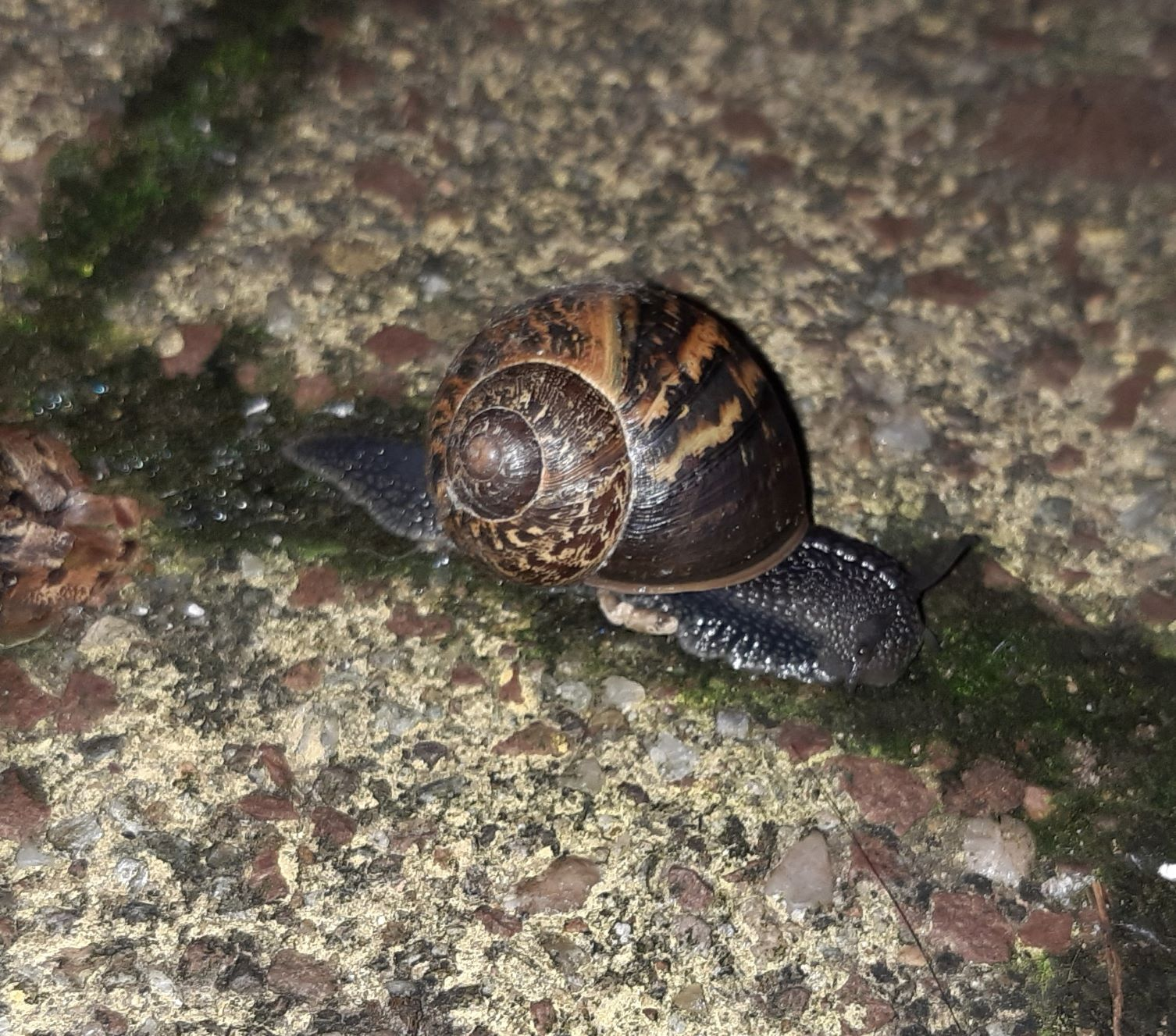 A snail on the brick walkway, moving along a line of moss between bricks. Its shell has the same pretty brown and tan pattern, and its pebbly dark gray skin has a white dotted line down the back of its neck starting between its eyes. The eye stalks are less extended than the others, but still looking around.