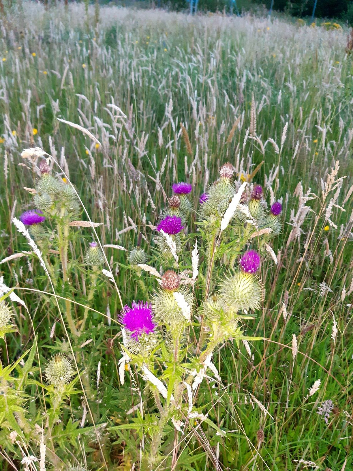 The image shows a Scottish thistle. The leaves are very spiky. The floweriug is a ball of spikes maybe an inch or two in diameter, with a bright purple tuft at the top. It is a more imposing flower than any of the thistles I encountered in the United States
