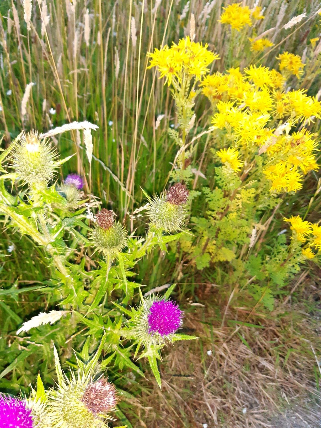 The image shows a thistle plant, with spiky leaves and flowers, topped by purple tufts. Behind it is another plant with light yellow flowers.
