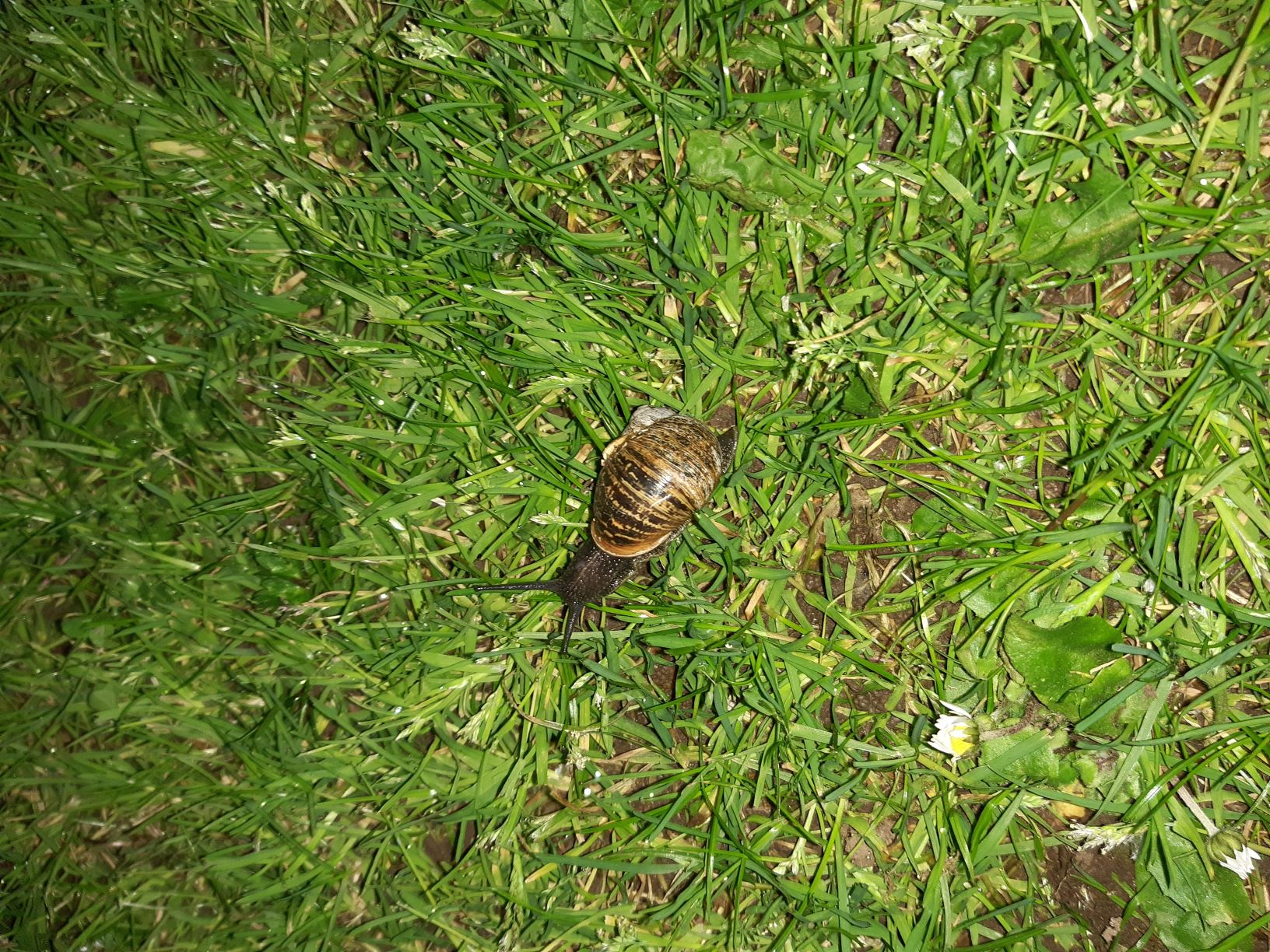 The image shows a garden snail on grass. There's a daisy in the bottom left corner of the picture, closed up for the night. The snail has a brindled brown and tan shell, and dark pebbly skin. Its eyestalks are extended, actively searching around. It seems interested in the world around it.