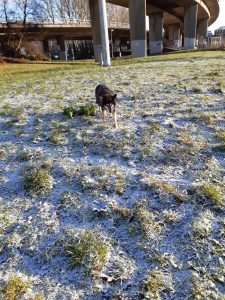 The image shows Raksha, a mid-sized black dog with tan legs, and tan on her cheeks and eyebrows approaching the camera. She's walking on snowy grass, carefully placing one paw out in front of her before putting her weight on it. It's very sunny, and a bit cold looking. She seems unsure about things, but focused on walking over the unstable surface.