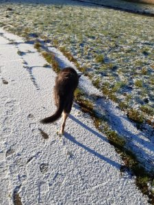 Image shows Raksha, a mid-sized black dog with tan legs, walking away from the camera. She's at the edge of a snow-covered path, about to step onto some slightly snowy grass. It's sunny, but it's clear that the sun is pretty low in the sky, as the dog's shadow is long going off to the side.