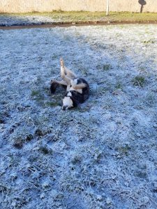 The image shows Raksha, a mid-sized black dog with tan legs and cheeks, a bit of white on her throat, and a white belly, rolling and flailing on her back, all four paws up in the air, and nose pressed against the snowy grass.