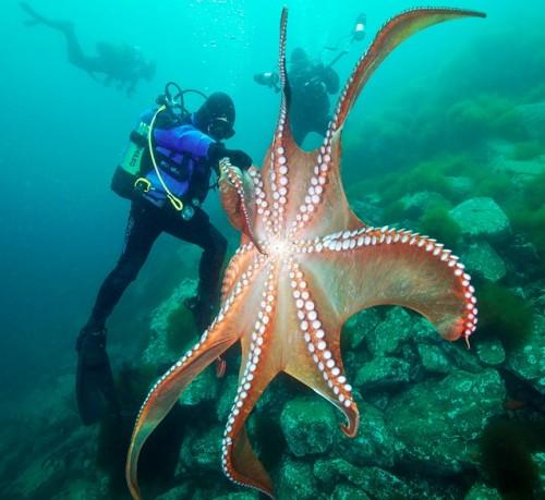 Friday Cephalopod: Scuba squaredance