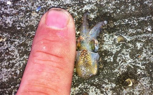 smallsquid