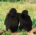chimp-friends