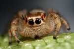 jumping_spiders_face