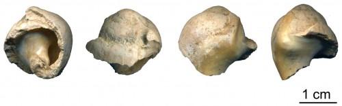 neandertal_shell