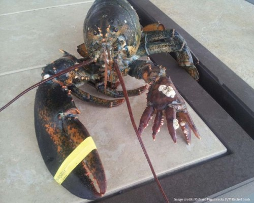 lobster-deformity
