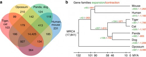 (a) Orthologous gene clusters in mammalian species. The Venn diagram shows the number of unique and shared gene families among seven mammalian genomes. (b) Gene expansion or contraction in the tiger genome. Numbers designate the number of gene families that have expanded (green, +) and contracted (red, −) after the split from the common ancestor. The most recent common ancestor (MRCA) has 17,841 gene families. The time lines indicate divergence times among the species.