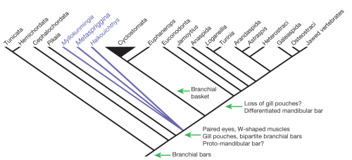 Cladogram with backbone constraint for cyclostome monophyly, and using rescaled consistency indices, showing the position of Metaspriggina as part of basal stem-group soft-bodied vertebrates. The origin and potential loss of key vertebrate structures is indicated.