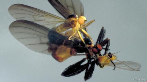 danceflies