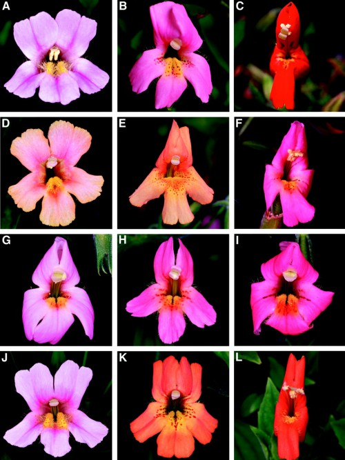 Pollinator preference and the evolution of floral traits in monkeyflowers (Mimulus)