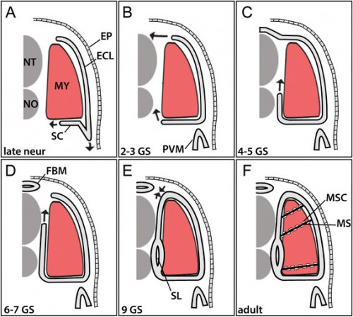 Summary of the development of amphioxus non-myotome somite derivatives in embryonic (A), larval (B-E) and adult (F) stages. Note that arrows indicate a change in the relative position of tissues, but it is not known whether this is achieved by active migration and/or differential growth of somitic or surrounding tissues. Abbreviations: ECL, external cell layer; EP, ectodermal epithelium; FBM, fin box mesothelium; MS, myoseptum; MSC, myoseptal fibroblast cell MY, myotome: NT, neural tube; NO, notochord. Stage abbreviations: neur, neurula; GS, gill slit; post-met, post-metamorphic juvenile.