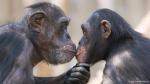 kissingchimps