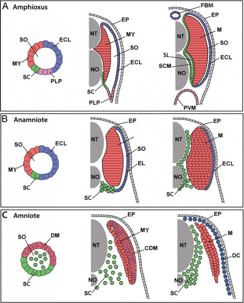 Comparison of somite development and somite compartment derivatives in (A) amphioxus, (B) an anamniote vertebrate, and (C) an amniote vertebrate. For each, somite organization is schematized at early (left panels), mid (middle panels), and late (right panels) developmental stages. The schematics are shown unbent from their true chevron- or W-shape and for simplicity omit the ribs and ventral muscles (and in anamniotes, the myoseptal cells), which are derived from the somites and migrate ventrally into the lateral plate mesoderm. Other details are also omitted, including the difference between epaxial and hypaxial musculature and between phasic and tonic muscle fibers. Abbreviations: CDM, central dermomyotome; DC, dermal cells; DM, dermomyotome; ECL, external cell layer; EP, epidermis; FBM, fin box mesothelium; MY, myotome; NT, neural tube; NO, notochord; PLP, presumptive lateral plate; PVM, perivisceral mesothelium; SL, sclerocoel; SCM, scleromesothelium; SO, somitocoel; SC, sclerotome; M, trunk muscles.