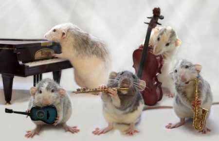 funny-rat-music