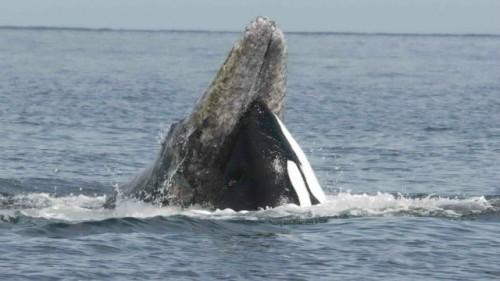 orcavsgrey
