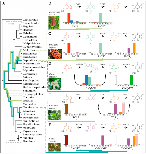Caffeine has convergently evolved in five flowering plant species using different combinations of genes and pathways. (A) Phylogenetic relationships among orders of Rosids and Asterids show multiple origins of caffeine biosynthesis. Lime-green lineages trace the ancient CS lineage of enzymes that has been independently recruited for use in caffeine-accumulating tissues in Theobroma, Paullinia, and Camellia. Turquoise lineages trace the ancient XMT lineage that was independently recruited in Citrus and Coffea. (B and C) Theobroma and Paullinia have converged upon similar biosynthetic pathways catalyzed by CS-type enzymes. (D) Citrus has evolved a different pathway catalyzed by XMT-type enzymes, despite its close relationship to Paullinia. (E and F) Camellia and Coffea catalyze the same pathway using different enzymes. Proposed biochemical pathways are based on relative enzyme activities shown by corresponding bar charts that indicate mean relative activities (from 0 to 1) with eight xanthine alkaloid substrates. CisXMT1 and TCS1 catalyze more than one reaction in the proposed pathways. XMT and CS have recently and independently duplicated in each of the five lineages