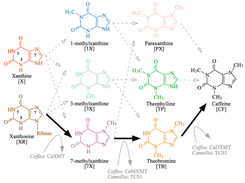 Caffeine biosynthetic network has 12 potential paths. The only path characterized from plants is shown by solid black arrows and involves sequential methylation of xanthosine at N-7, 7-methylxanthine at N-3, and theobromine at N-1 of the heterocyclic ring. Each methylation step is performed by a separate xanthine alkaloid methyltransferase in Coffea. In contrast, Camellia employs the distantly related caffeine synthase enzyme, TCS1, for both the second and third methylation steps, whereas the enzyme that catalyzes the first reaction remains uncharacterized. Other potential biochemical pathways to caffeine are shown by dashed arrows, but enzymes specialized for those conversions are unknown. Cleavage of ribose from 7-methylxanthosine is not shown, but may occur concomitantly with N-7 methylation of xanthosine. CF, caffeine; PX, paraxanthine; TB, theobromine; TP, theophylline; X, xanthine; 1X, 1-methylxanthine; 3X, 3-methylxanthine; 7X, 7-methylxanthine; XR, xanthosine