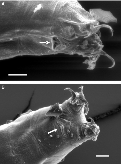 Cloaca (indicated by arrow) of two individuals of Isohypsibius dastychi. The cuticle opens anteriorly. A, cuticle covering the cloaca is pushed towards posterior end of the animal. B, cuticle in the natural state. Scale bar = 10 μm.