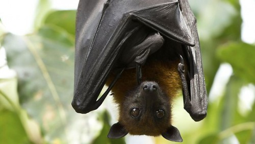 flying-foxes-thinkstock